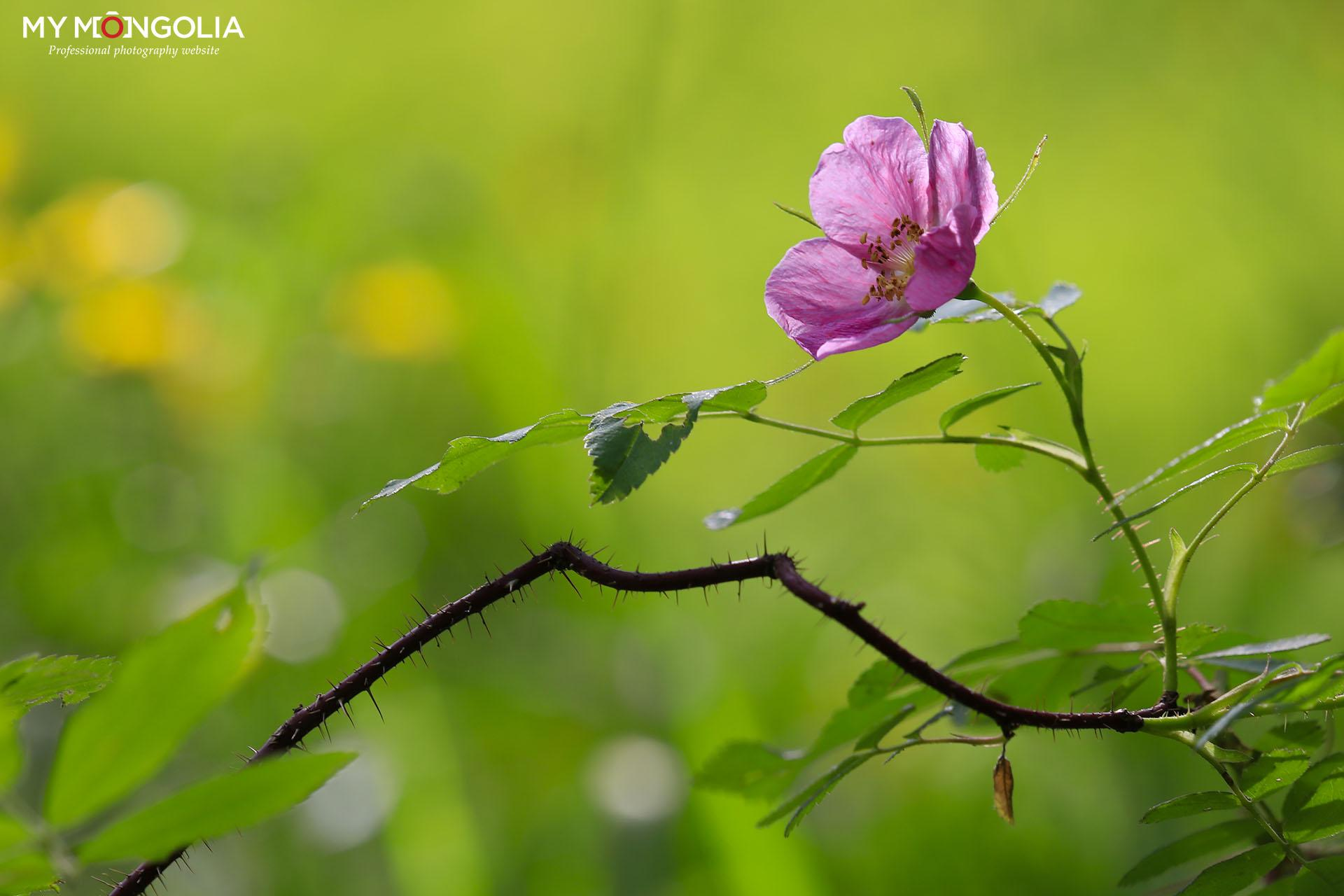 Уулын цэцэгс